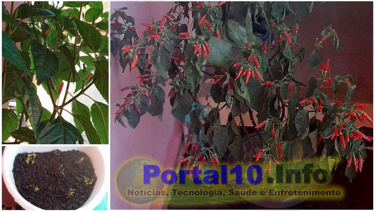 Pimenteira: Como plantar e colher lindas pimentas em casa
