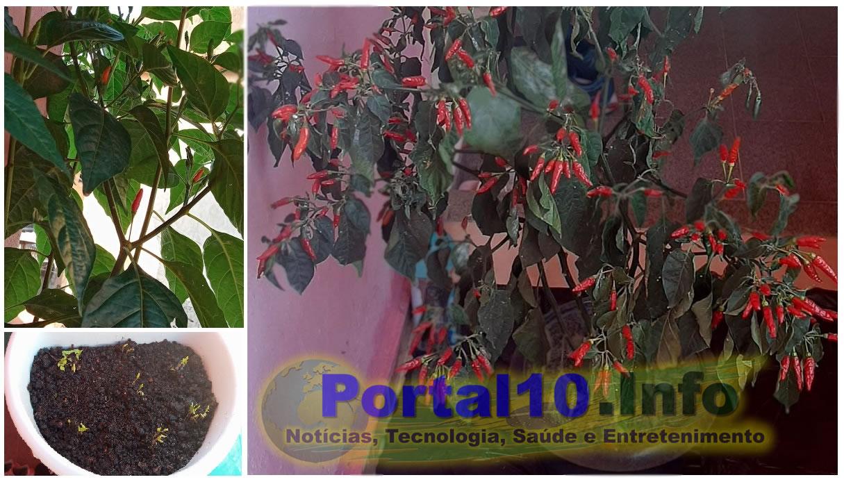 pimenteira grande Pimenteira: Como plantar e colher lindas pimentas em casa